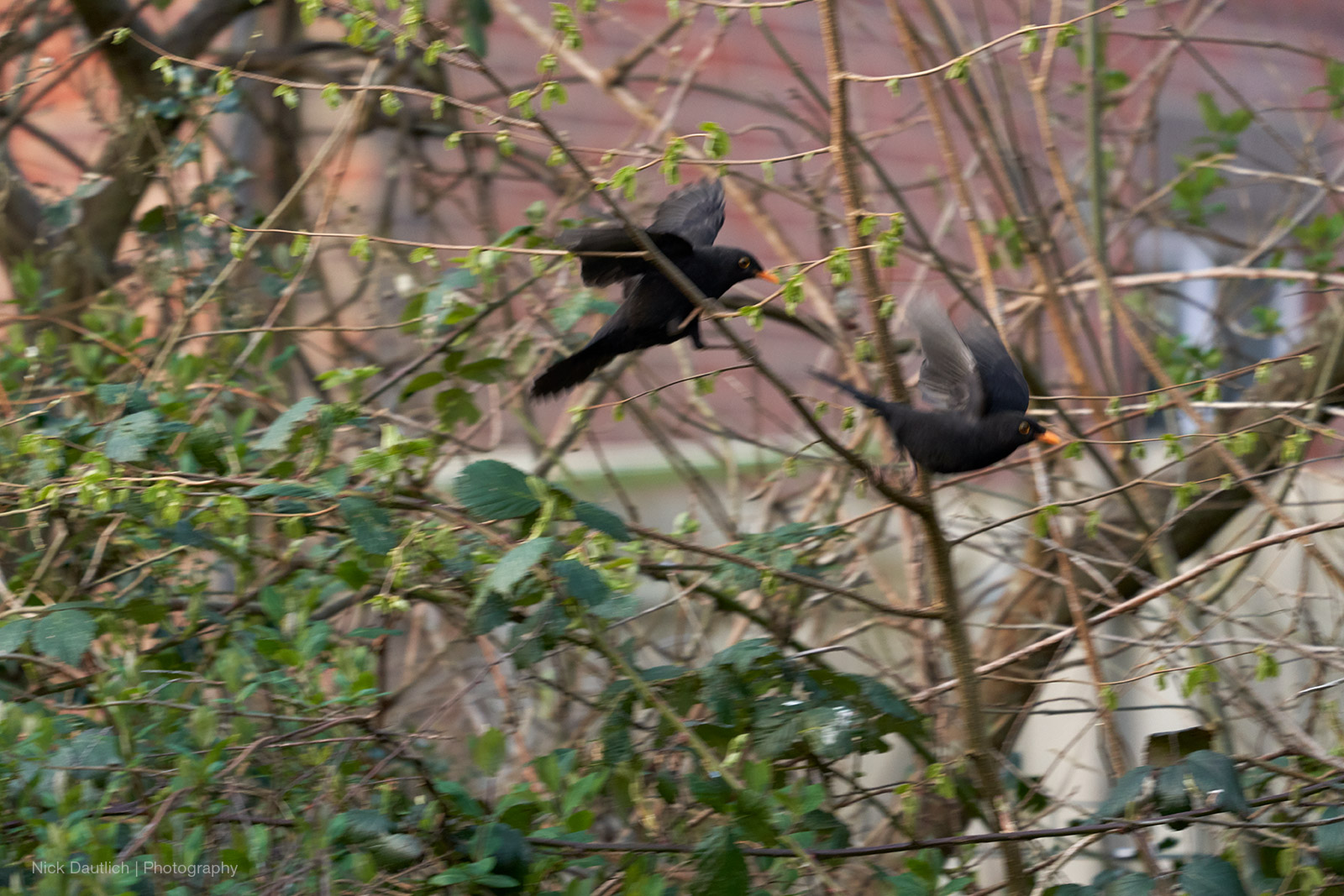 Blackbirds out of focus - too slow shutter speed