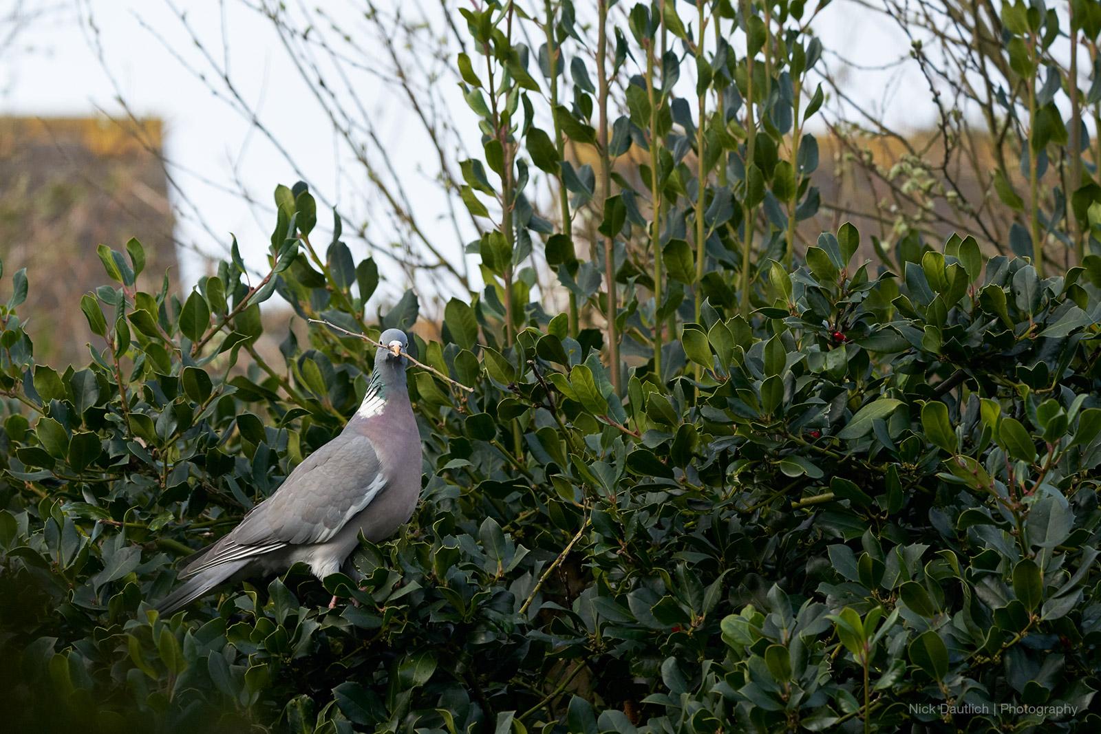 Garden woodpigeon nesting