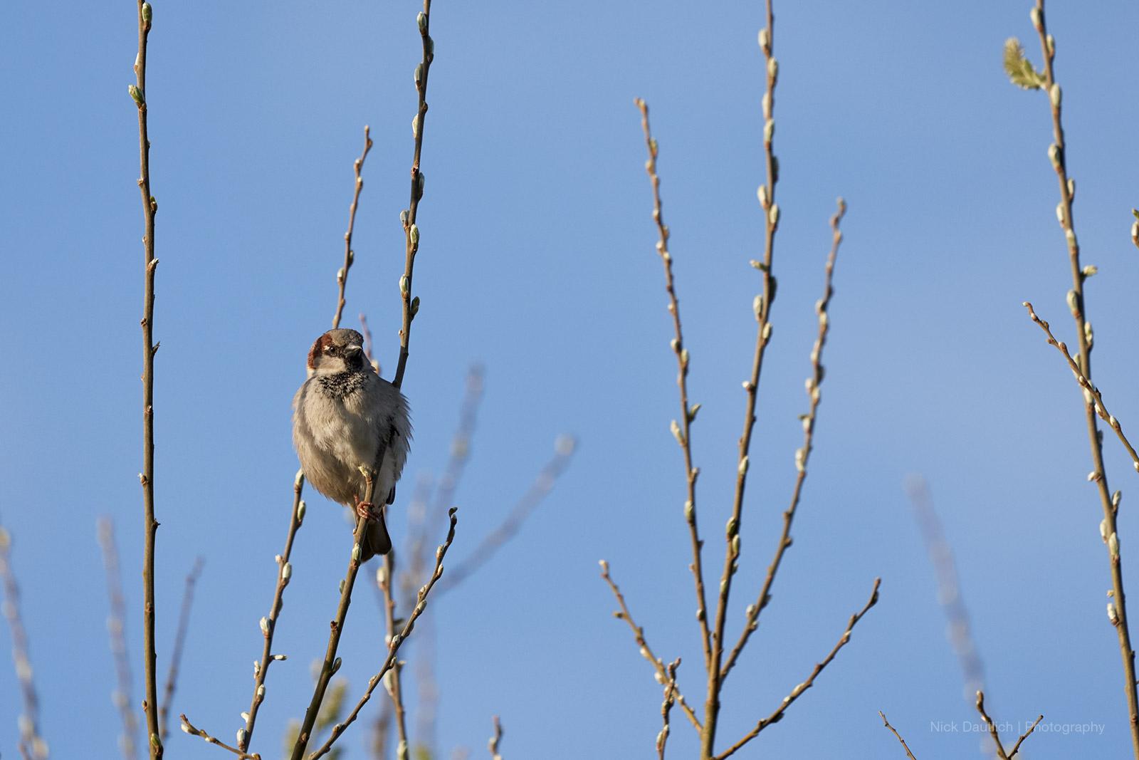 Garden sparrow at sunrise