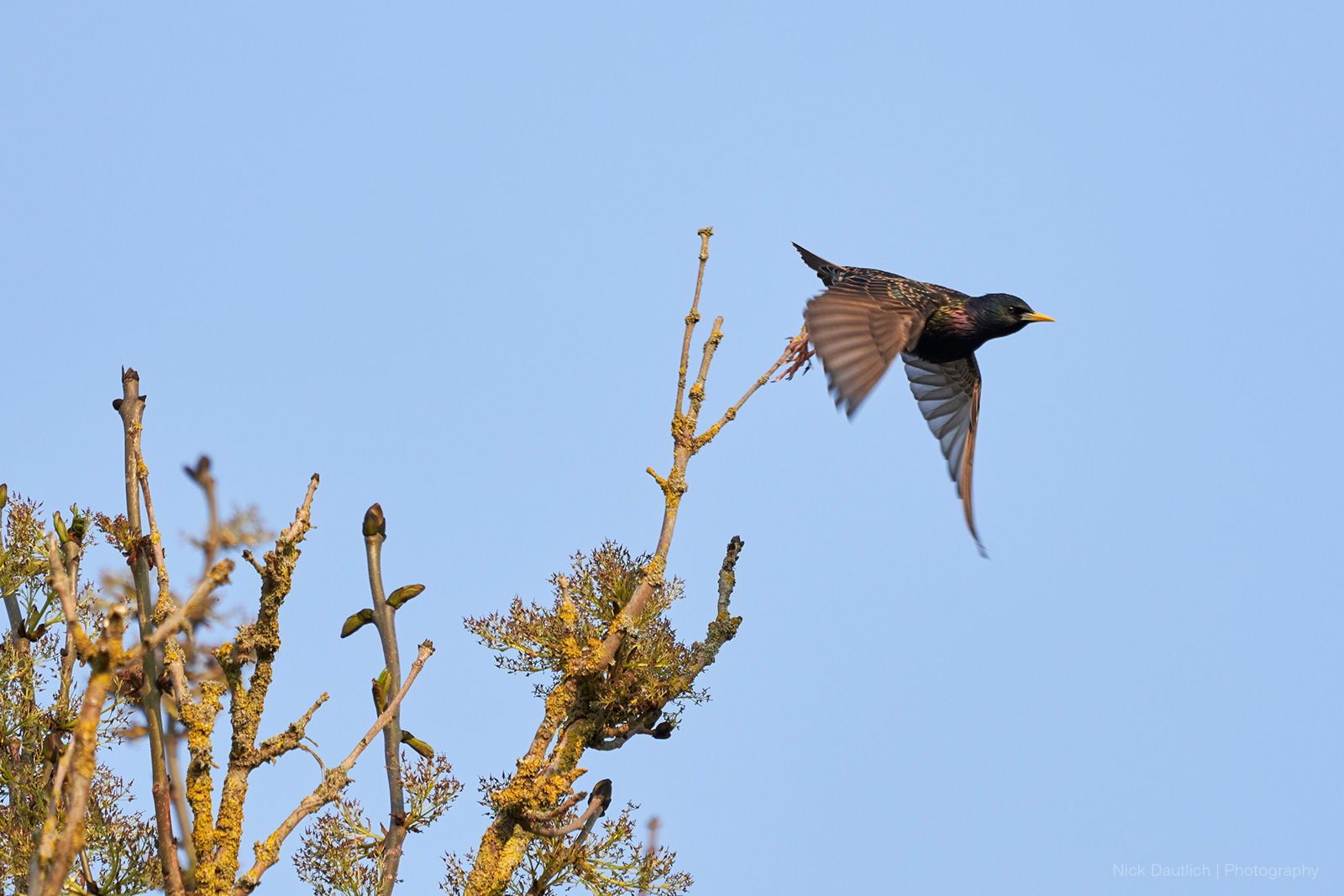 Starling take-off