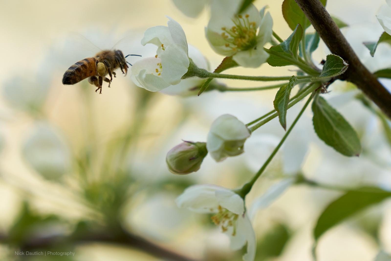 Bee in flight macro