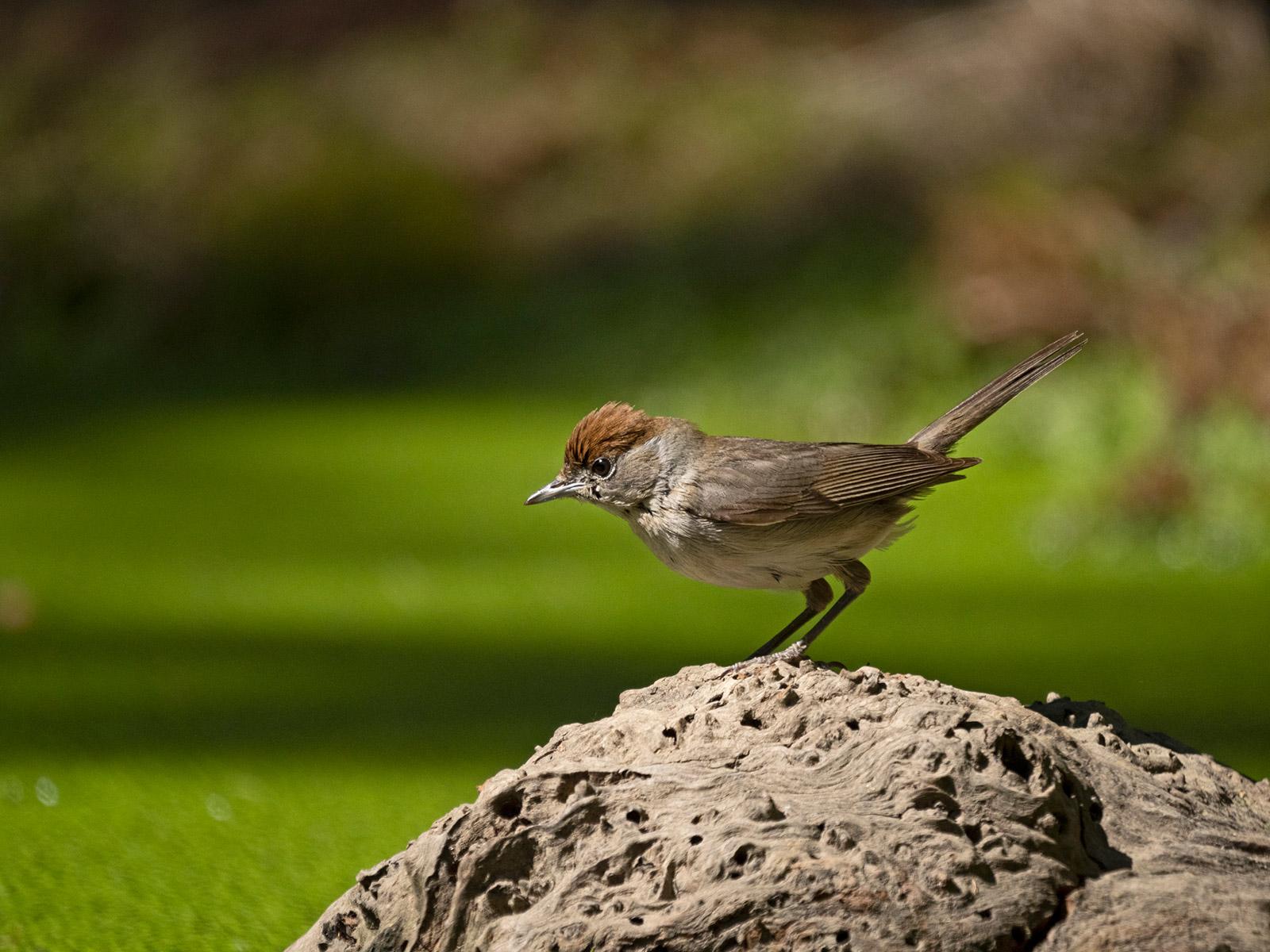 Blackcap bird,  Sylvia atricapilla. David Tipling With Olympus 100-400mm lens sample image