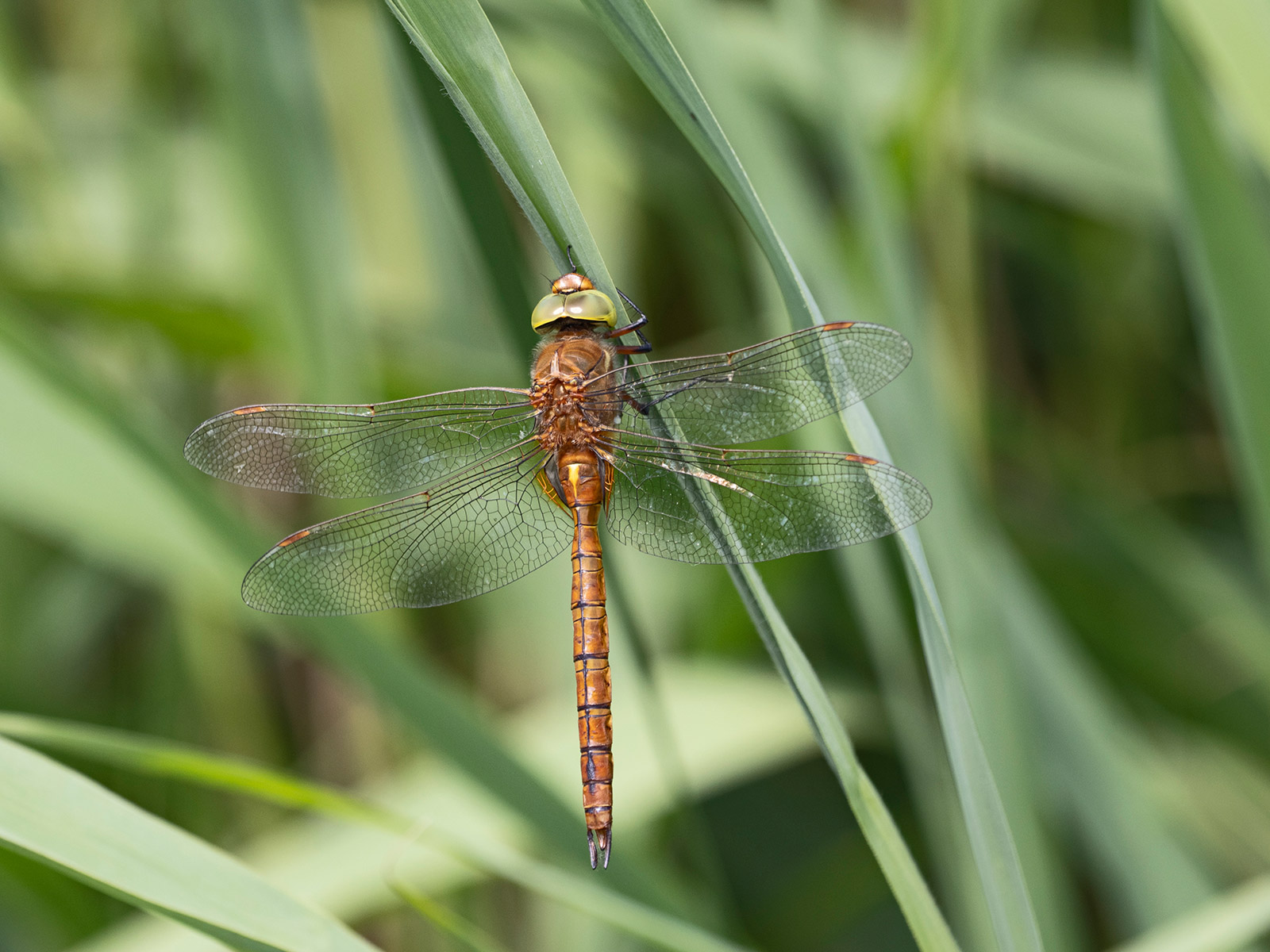 Norfolk Hawker Dragonfly, Aeshna isoceles. David Tipling With Olympus 100-400mm lens