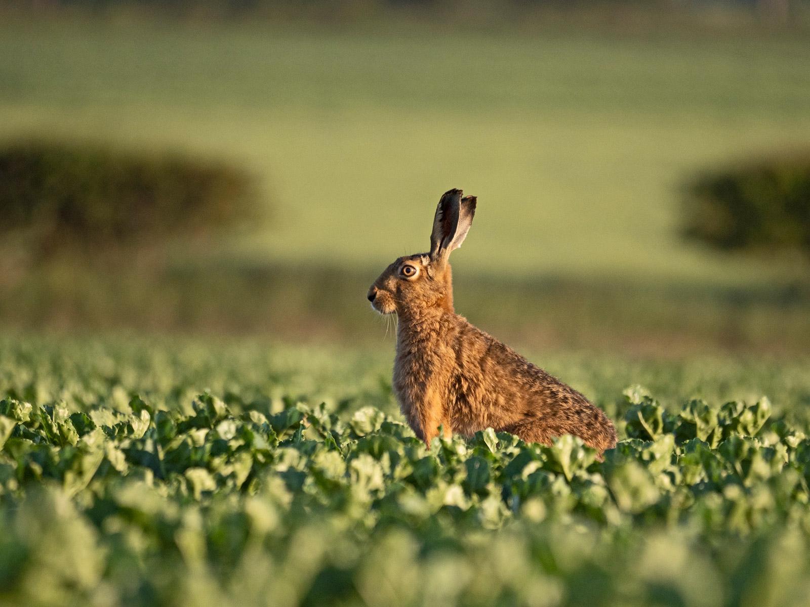 Brown Hare, Lepus europea. David Tipling With Olympus 100-400mm lens sample image