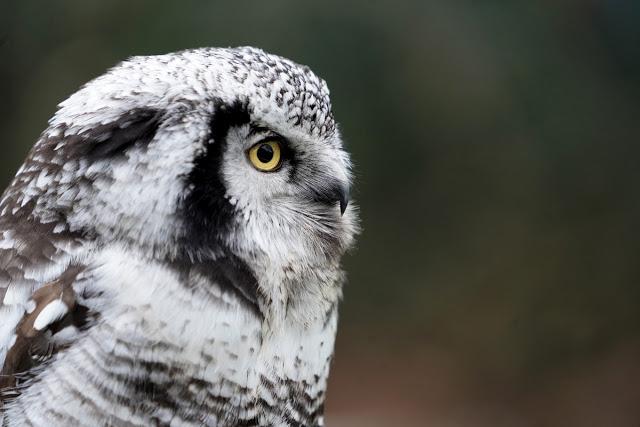 Northern-Hawk-owl-ashley-laurence