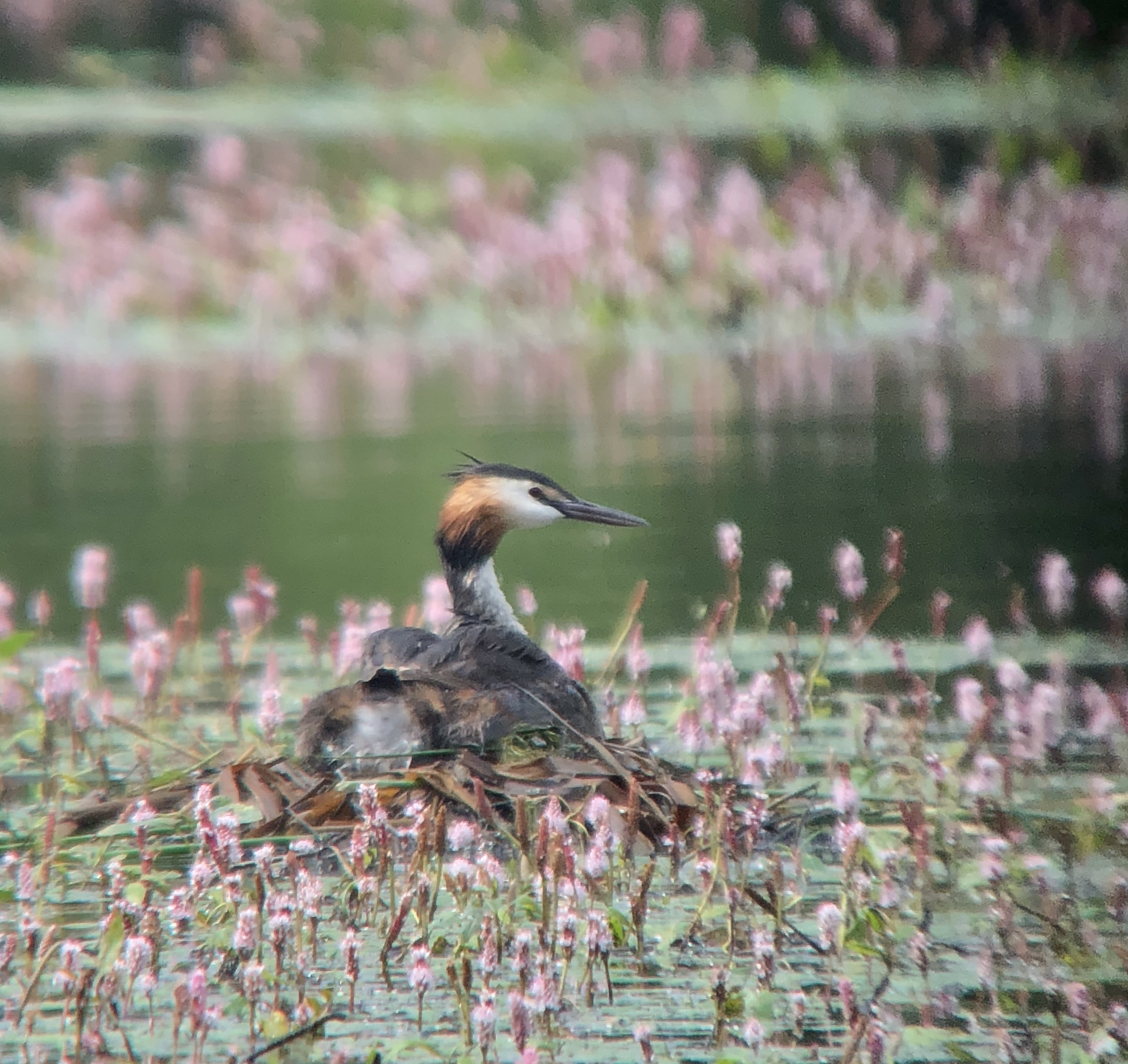 Digiscoped image of a Grebe at Hammer Pond - Simon King