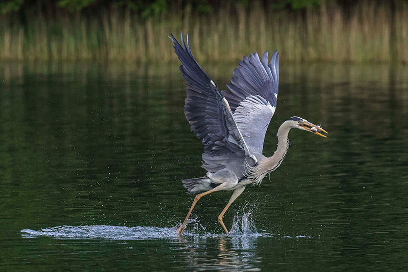 Beautiful heron image made with Canon 800mm lens