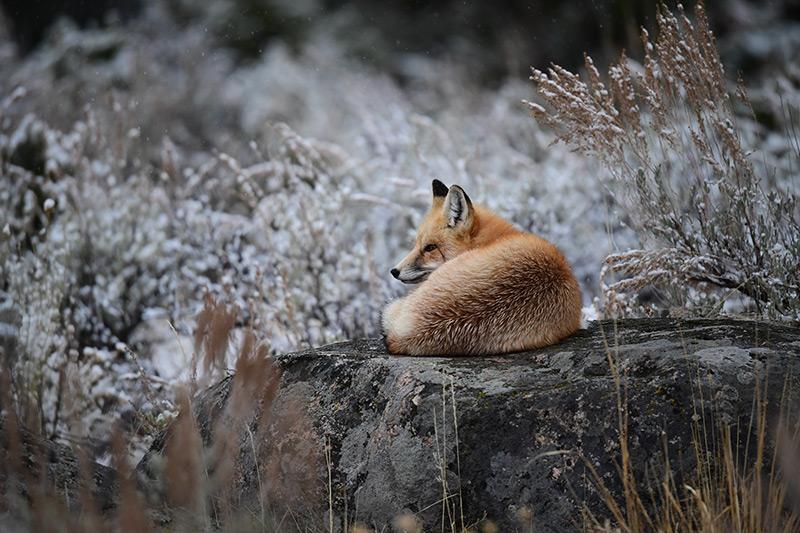 Wild fox image