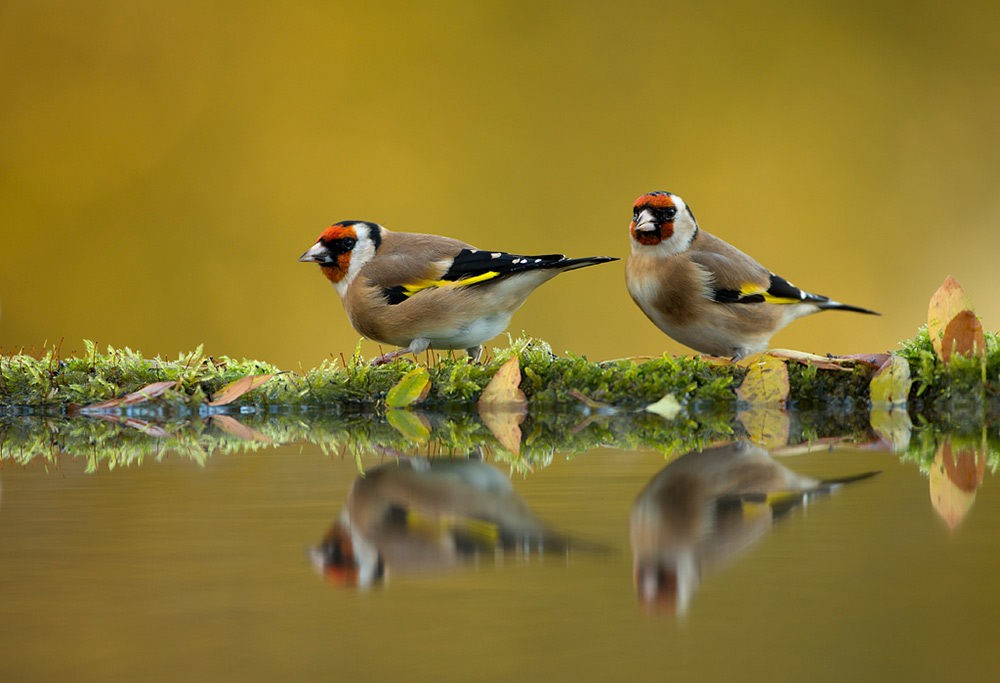 Goldfinches reflection