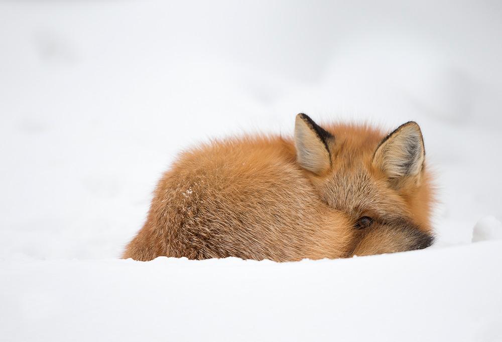 Red fox sleeping in snow