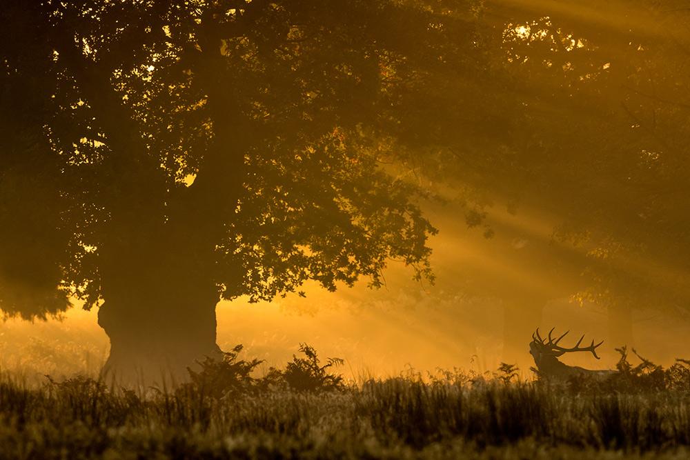 Red deer roaming at dawn