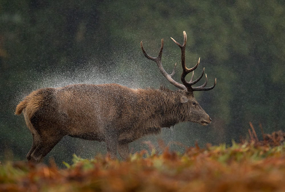 Red stag shaking himself dry
