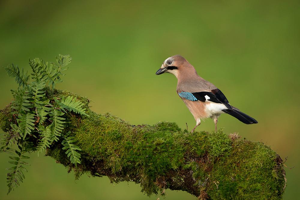 Jay bird photographed locally