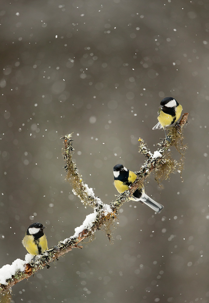 Great tits birds in the snow