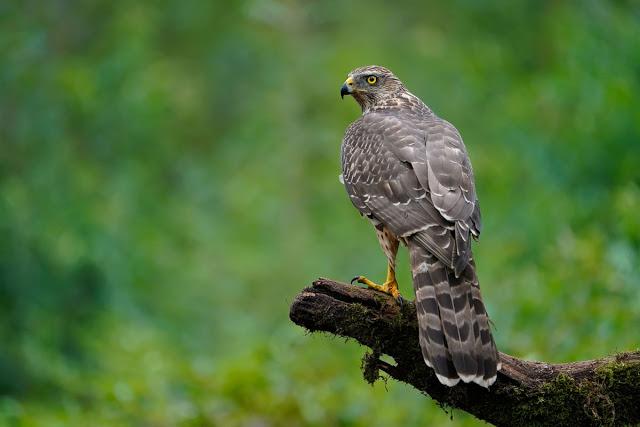 Gustav Kiburg Bird of Prey