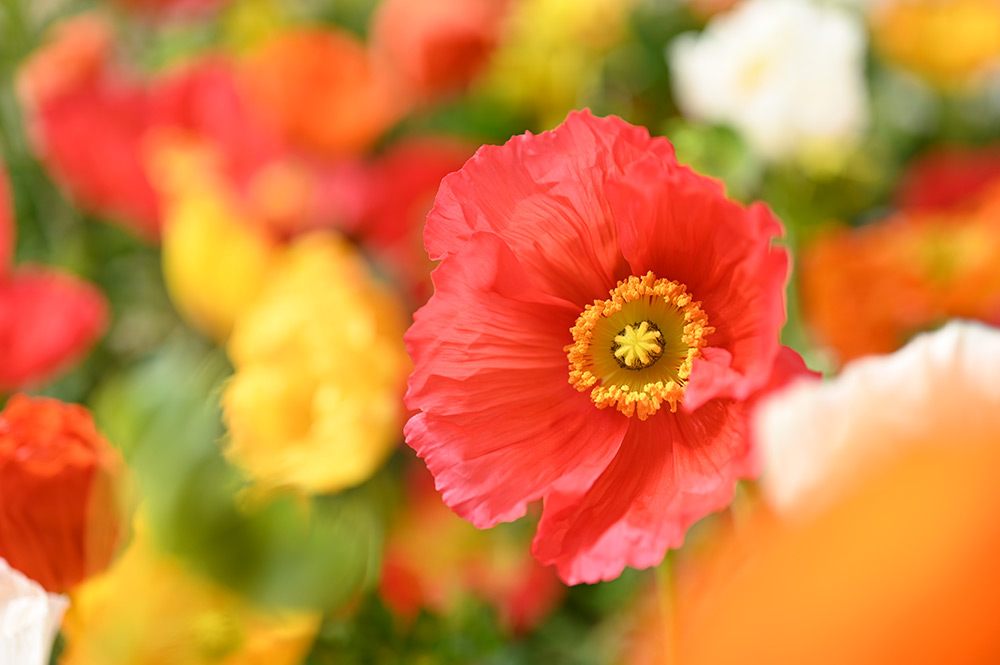 Gorgeous macro of poppies with Nikkor Z MC 50mm f/2.8