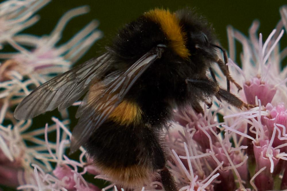 Bee using tele-macro at 150mm close focus