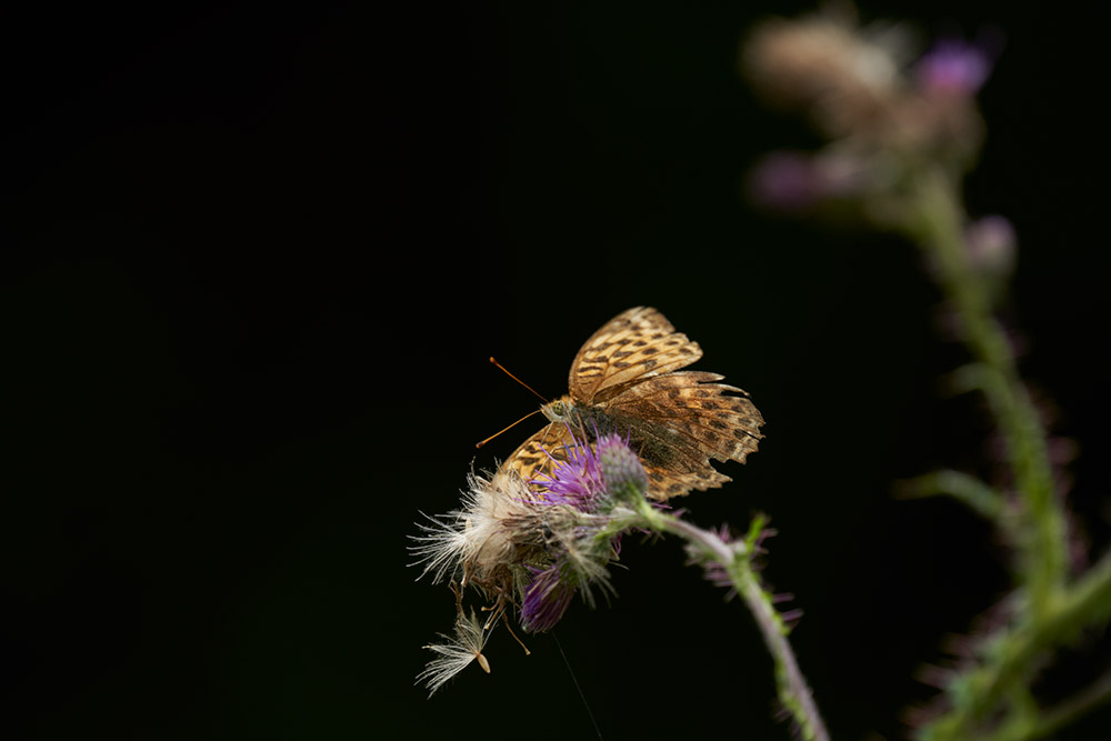 Butterfly at 600mm with the Sigma lens