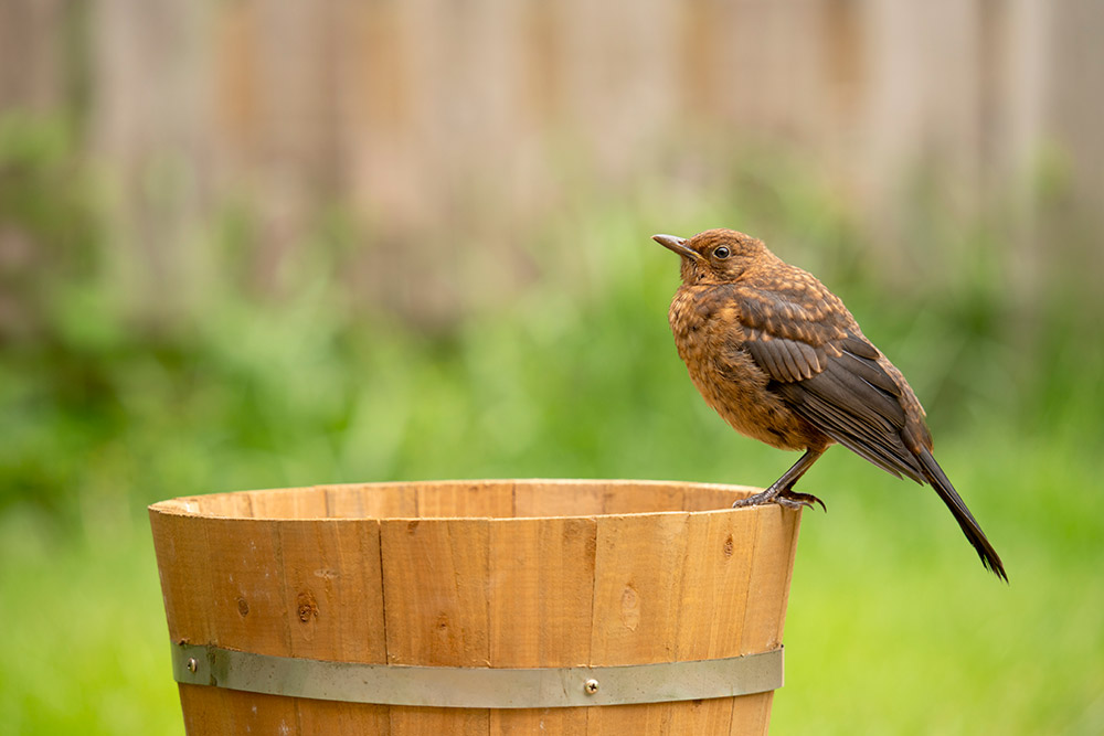 Sample image 2 Baby Blackbird.  Focal length: 356mm