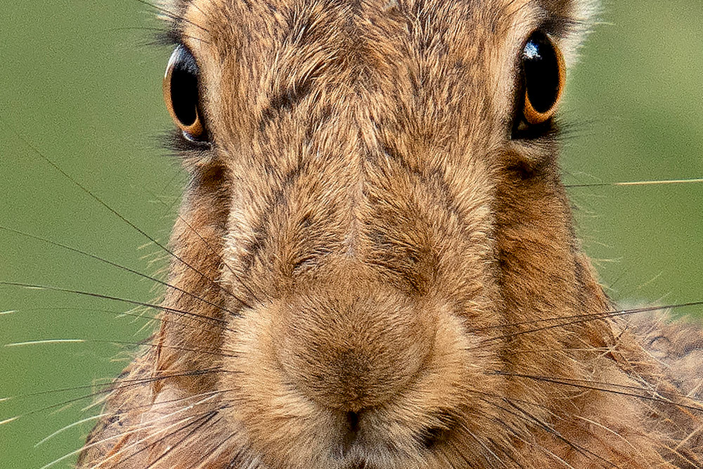 full image crop of sample image 3 lovely details in the hare eyes