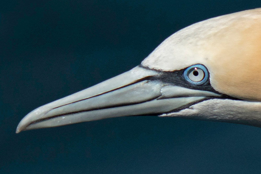 full 100 percent crop of gannet with fine details