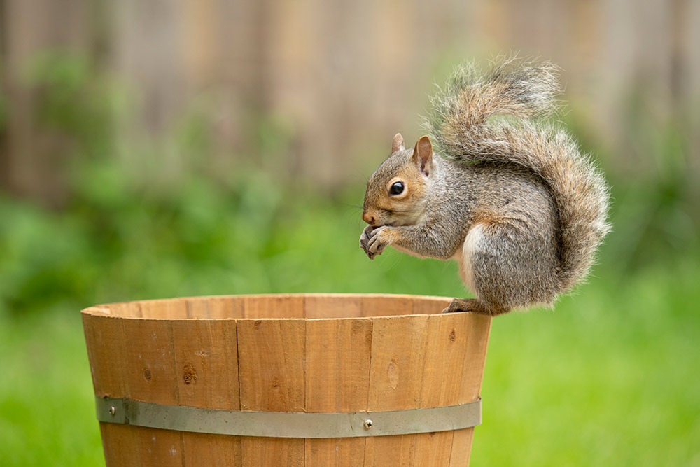 Sample image 5 Squirrel.  Focal length: 359mm