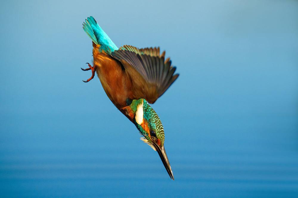 Kingfisher gird in flight sample photo